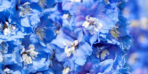 Canvas Print blue flowers of a delphinium close up macro