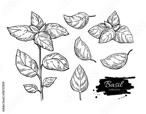 Tableau sur Toile Basil vector drawing set. Isolated plant with leaves.
