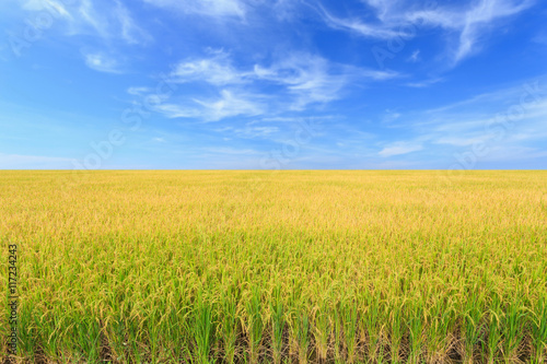 Wallpaper Mural Rice plant. Yellow rice field in Nakhon Pathom province