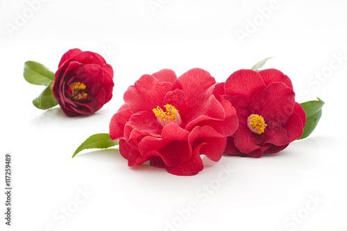 Obraz na płótnie flowers of camellia on a white background