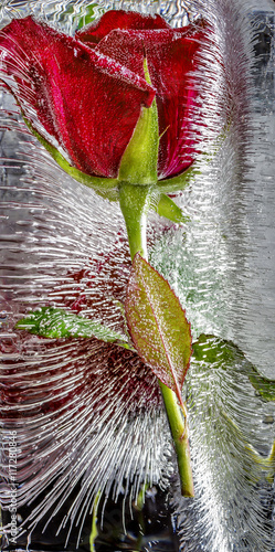 Red rose frozen in ice