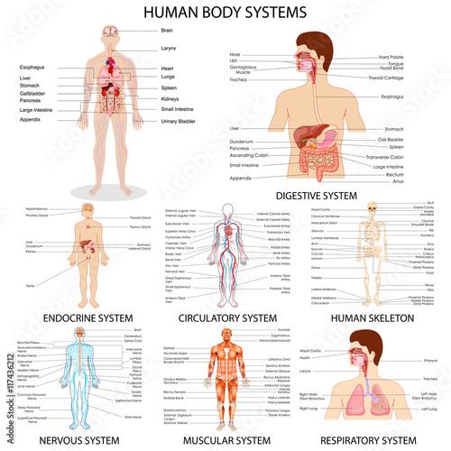 Wallpaper Mural Chart of different Human Organ System