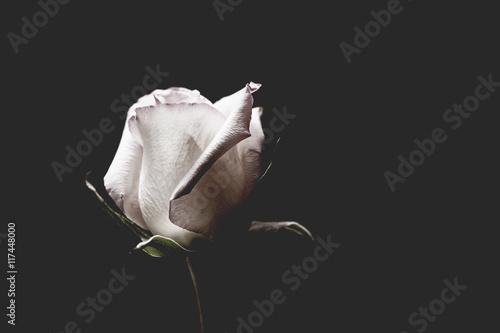 Pojedyncza biała róża