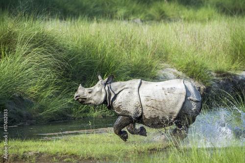 Fototapeta premium Greater One-horned Rhinoceros in Bardia national park, Nepal