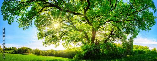 Fototapeta premium Słońce świeci przez duży majestatyczny dąb, format panoramy