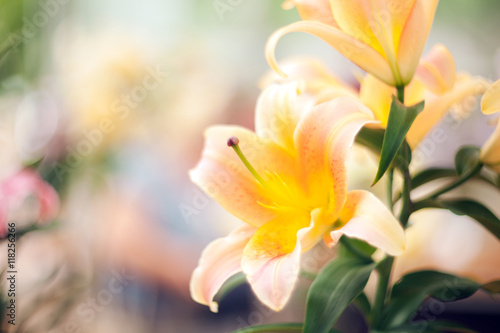 Fotografie, Obraz Beautiful lily close-up