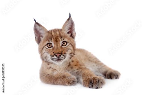 Fotografia Eurasian Lynx cub on white