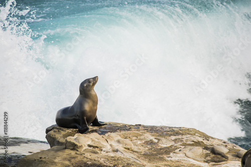 Fototapeta premium Single arched and wet sea lion sun bathing on a cliff with crashing waves in the background in La Jolla cove, San Diego, California
