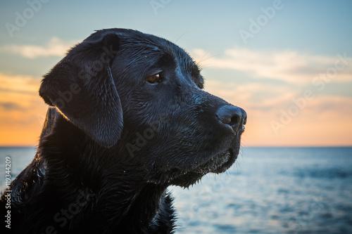 Canvas Print Head of the black wet dog Labrador Retriever sitting on the beach close to sea w