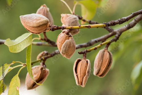 Canvas Ripe almonds on the tree branches.
