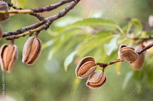 Foto Ripe almonds on the tree branches.