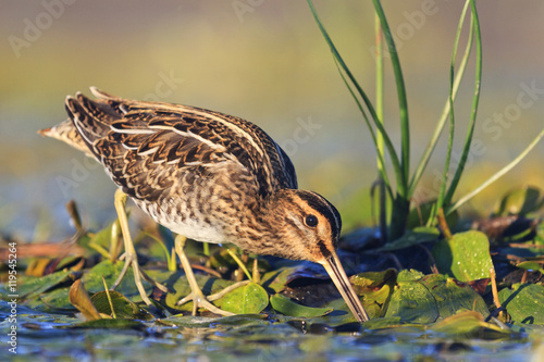 Fotografia snipe gets food from under the mud