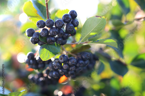 Aronia. Dojrzałe owoce aronii na gałązkach krzewu