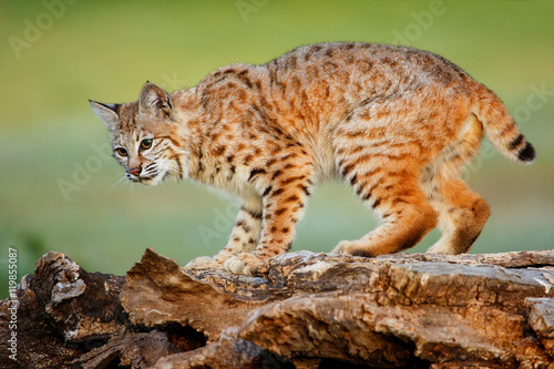 Bobcat standing on a log Fotobehang