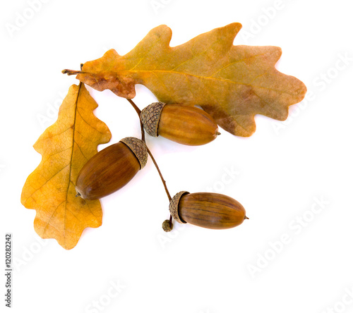 Beautiful autumnal oak leaves and acorn on white background with space for text. Oak (Quercus robur. Commonly known: English oak, pedunculate oak or French oak)