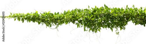 Fotografia vine plants isolate on white background