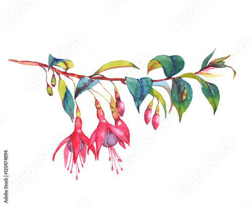 Canvas-taulu Hand-drawn watercolor floral illustration of the colorful vibrant pink fuchsia branch