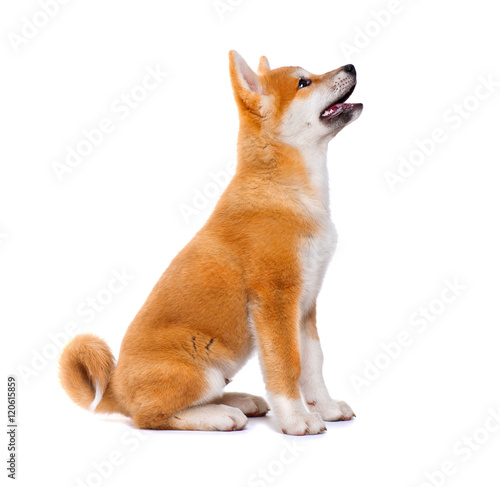 Akita Inu purebred puppy dog isolated on white background Poster Mural XXL
