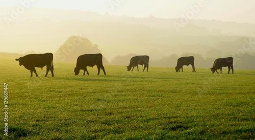 Stampa su Tela Herd of cows grazing on a farmland in Devon, England