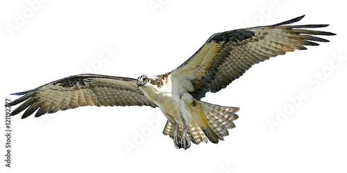 Canvas Print Osprey hawk winged flying hand draw and paint on white background vector illustration