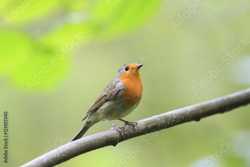 Fotografie, Obraz bird Robin red breast sitting on a tree in autumn Park