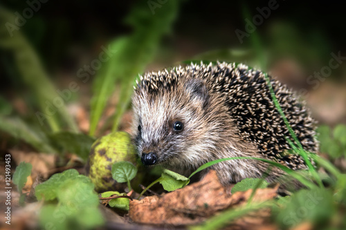 Fotografiet little young hedgehog (Erinaceus europaeus) in autumn forest looking for food