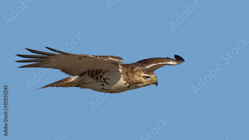 Canvas Print Red-tailed hawk isolated on a blue background in flight hunting in Canada