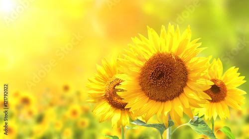 Fotografia Sunflowers on blurred sunny background