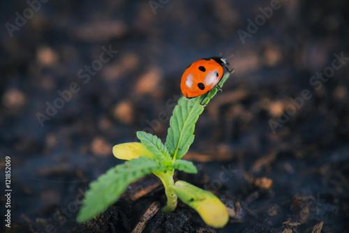 Lady bug on cannabis plant