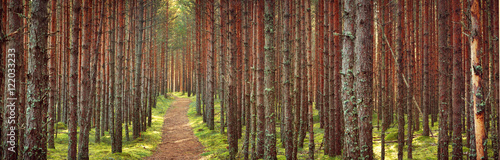 Lahemaa national park forest in september. Pine tree woods in early morning with path going throuhg
