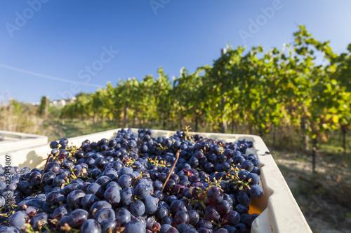Fotografia Grape harvest in a vineyard. Blue sky background