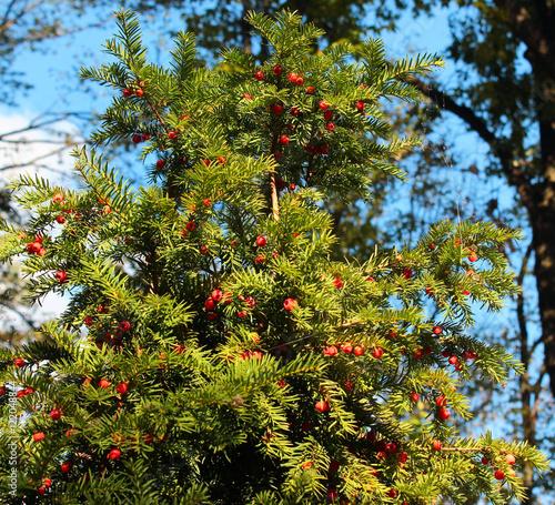 Yew tree (Taxus baccata) with red berries Fototapeta