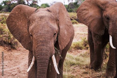 Elephant eating Samburu National Park, Kenya, Africa