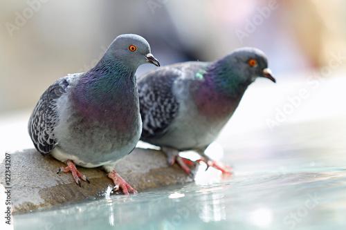 Pigeons à une fontaine