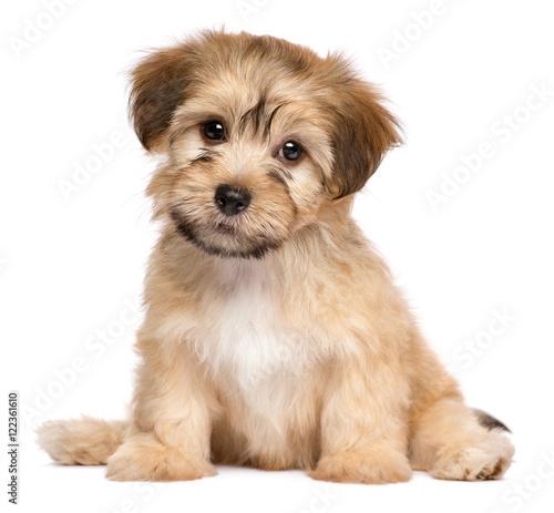 Photo Cute sitting havanese puppy dog - isolated on white