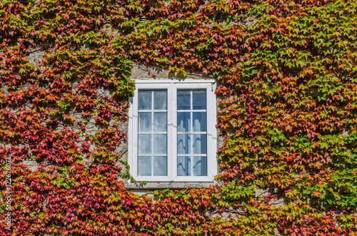 Stampa su Tela White window covered by creeper ivy