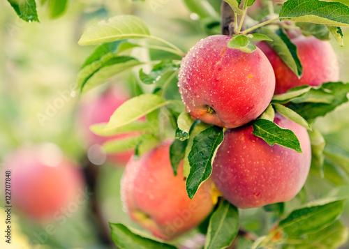 Obraz na plátne Apple tree