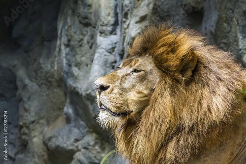 Plakat Afrykański lew w Chiang Mai