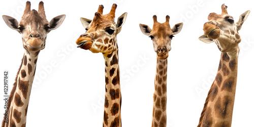 Fototapeta premium Żyrafy na białym tle