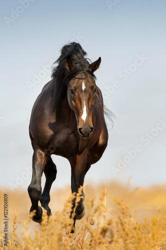 Obraz na płótnie Bay beautiful stallion run gallop on pasture