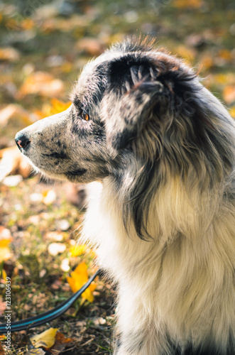 A Border Collie dog outdoors in the autumn park.