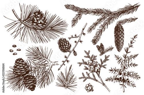 Obraz na plátne Vector collection of conifers illustration