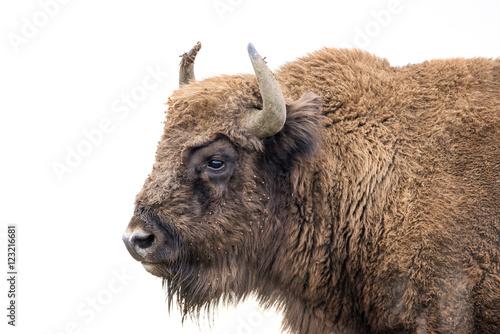 Leinwand Poster Bison bonasus - European bison - Milovice, Czech republic