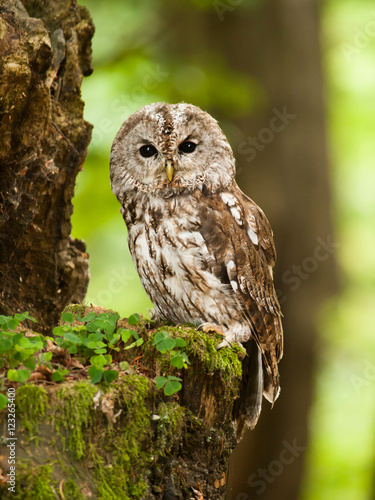 Fototapeta Young tawny owl in forest - Strix aluco