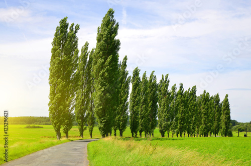 Fotografie, Obraz Summer landscape with poplars in sunny day.
