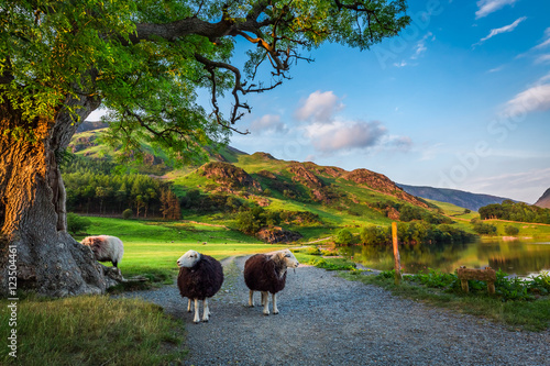 Fotografie, Obraz Two curious sheeps on pasture at sunset in the Lake District, England