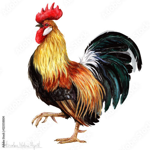 Watercolor Rooster, Isolated Fototapet