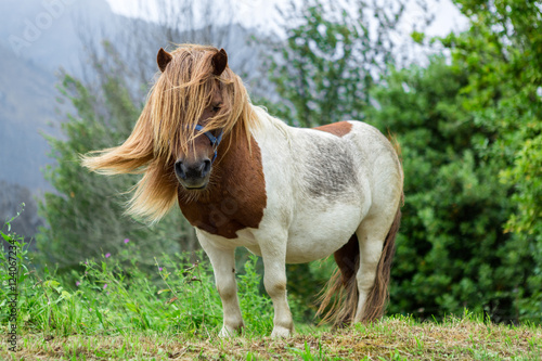 Fotografia Beautiful Pony with long hair in the wild