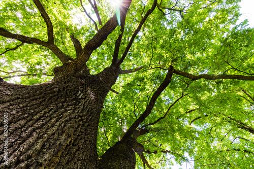 Fototapeta premium Zobacz zieloną koronę drzewa dębowego