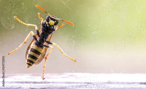 Fényképezés wasp at a window, macro photo